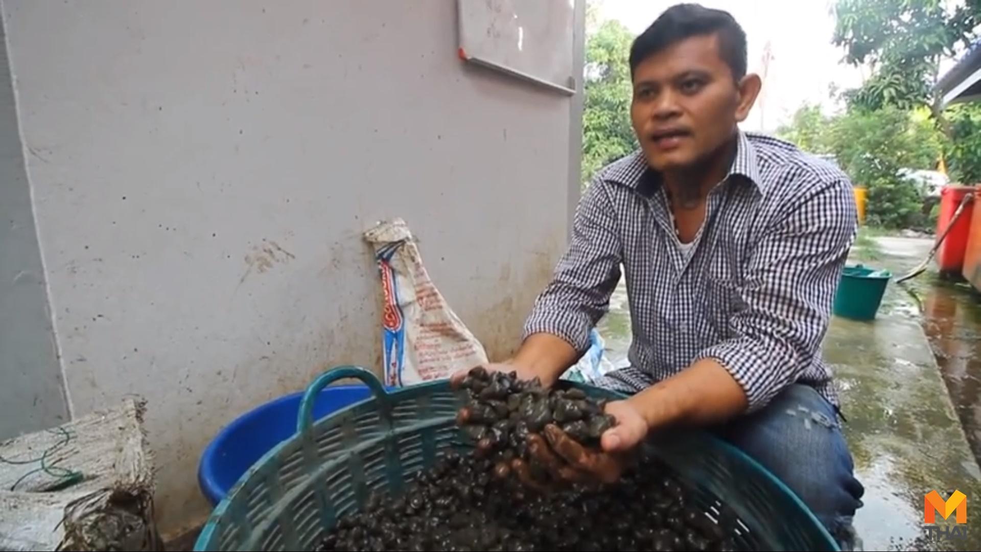 ข่าวภูมิภาค หอยขม เกษตรสร้างรายได้ เลี้ยงหอยขม