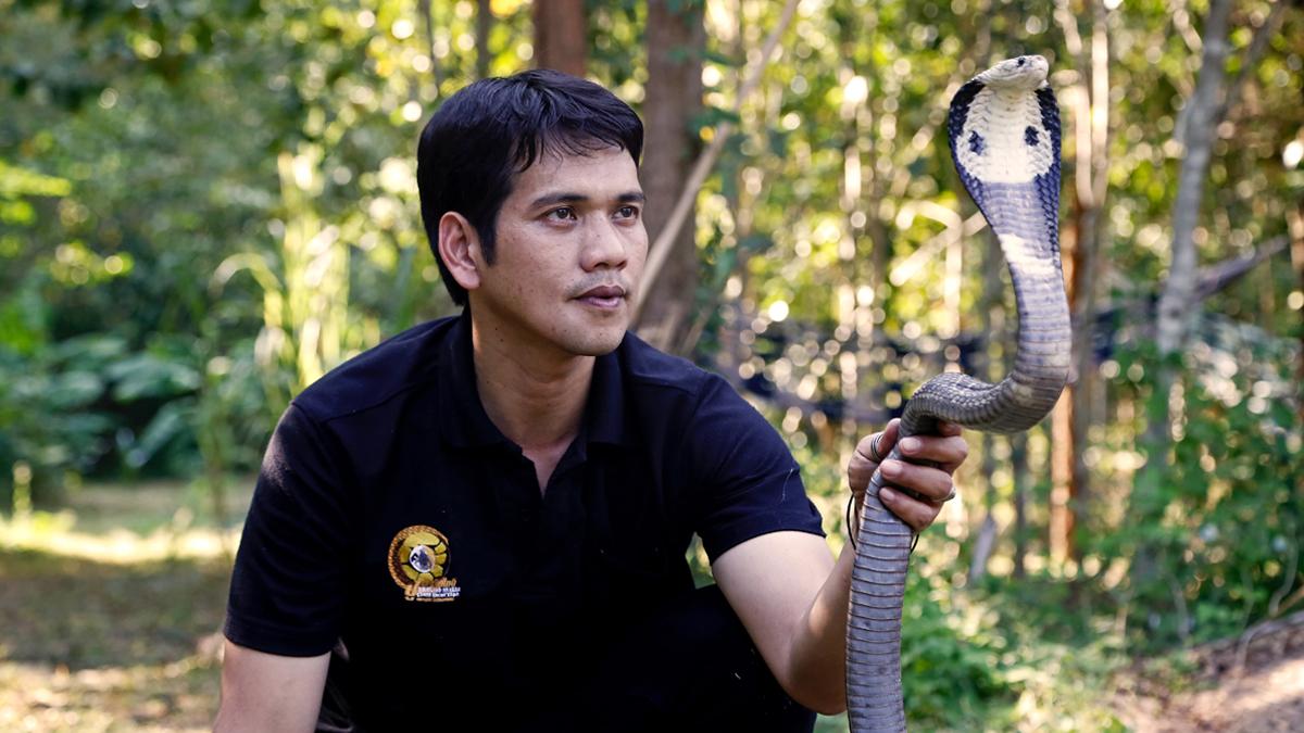 Nick Chomngam the master งูเห่า จับงู นิค นิรุทธ์ นิรุทธ์ ชมงาม มือปราบอสรพิษ วิธีจับงู อสรพิษ เทคนิคจับงู