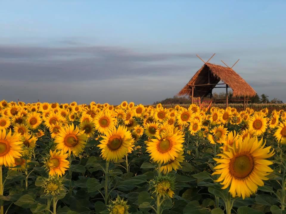 ดอกไม้ หน้าหนาว ทุ่งทานตะวัน ทุ่งทานตะวัน ตากฟ้า ทุ่งทานตะวัน นครสวรรค์ เที่ยวนครสวรรค์ เป๋าตุงฟาร์ม