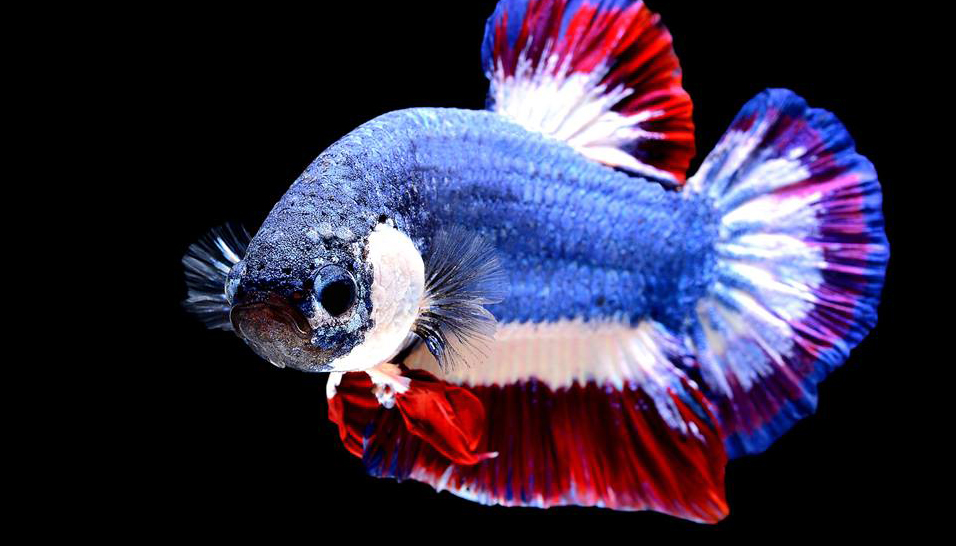 ข่าวสดวันนี้ ปลากัด ปลากัดไทย สัตว์น้ำประจำชาติ