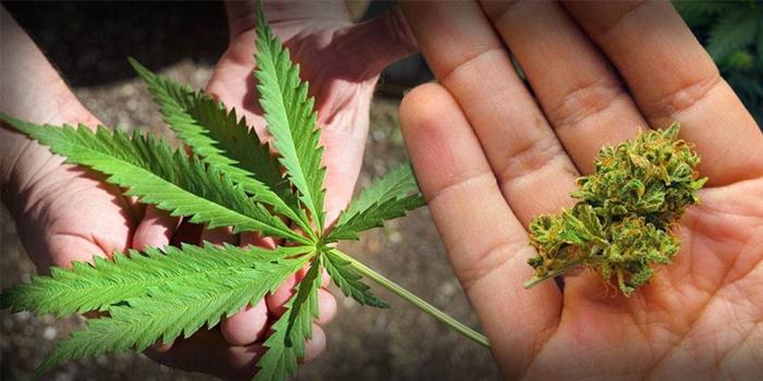 กฎหมายยาเสพติด กรมสรรพสามิต ข่าวMono29 ภาษีกัญชา
