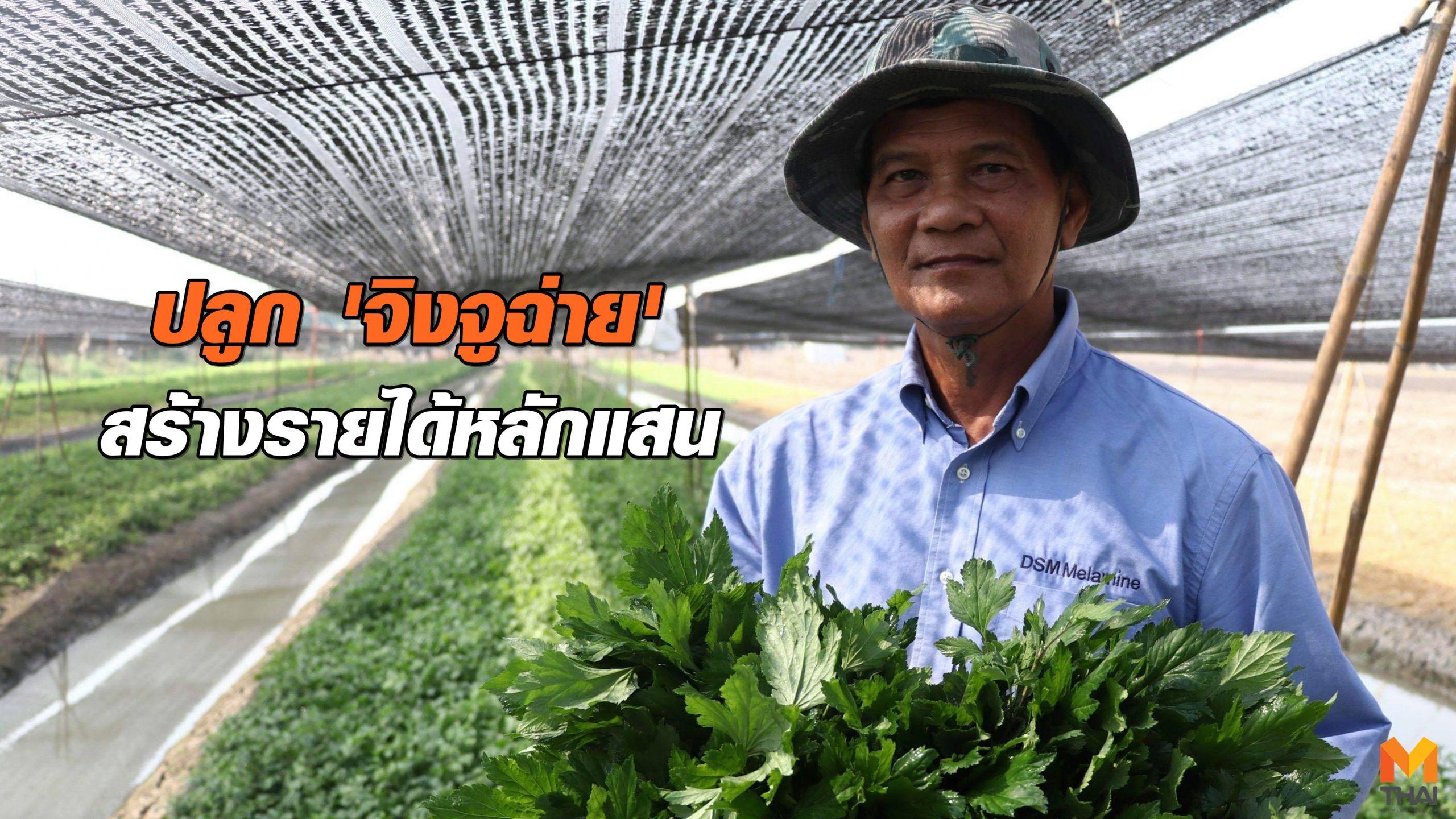 จิงจูฉ่าย พืชต้านมะเร็ง วิธีปลูกจิงจูฉ่าย เกษตรสร้างรายได้