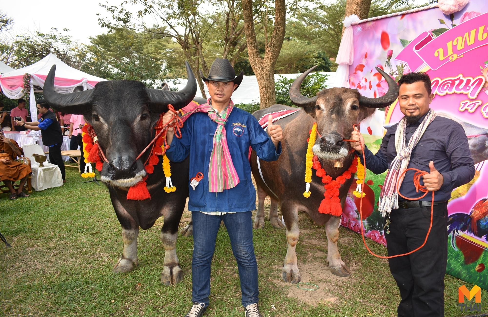 valentine ข่าวภูมิภาค งานแต่งงานควายไทย วันวาเลนไทน์