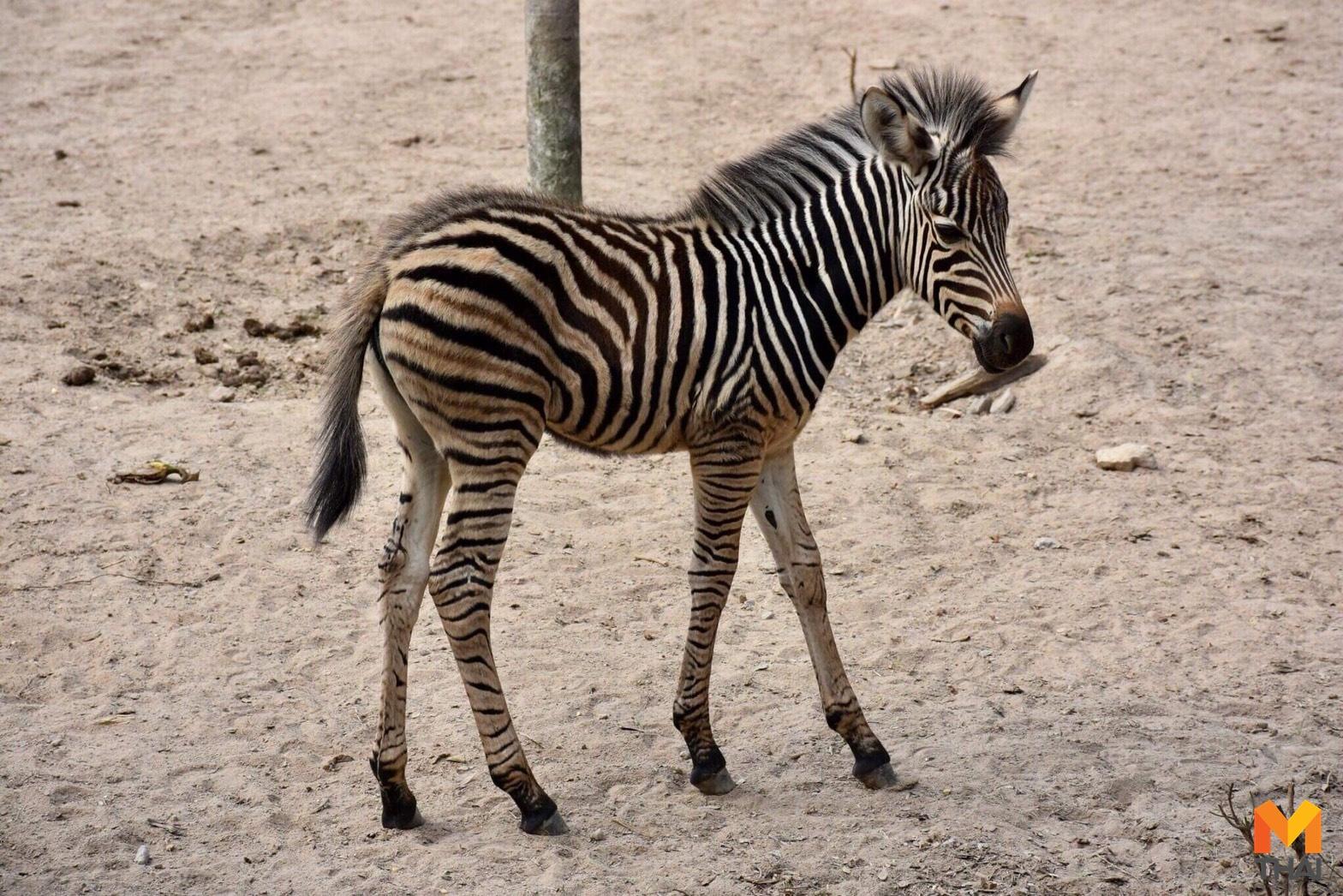 ข่าวภูมิภาค ม้าลาย สวนสัตว์ สวนสัตว์เปิดเขาเขียว เขาดิน