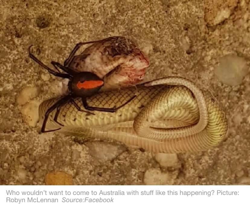 ข่าวสดวันนี้ ข่าวแมงมุม งูสู้กับแมงมุม แมงมุมหลังแดง