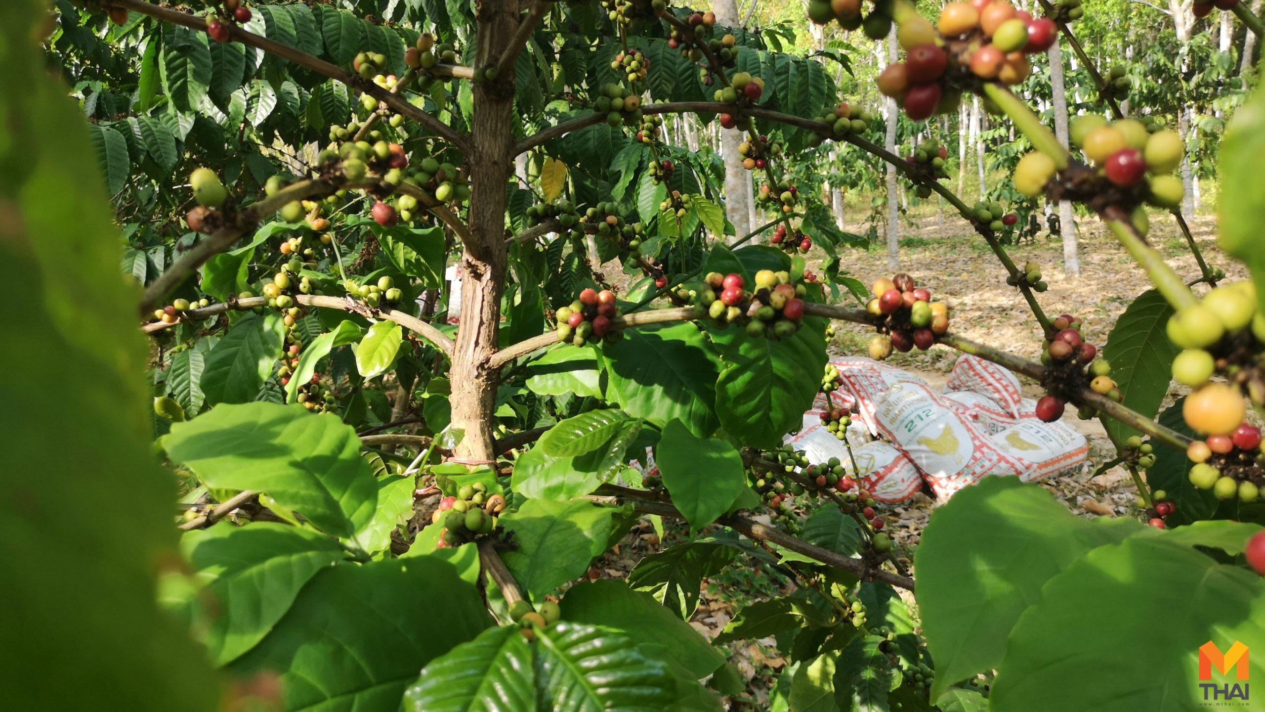 กาแฟ ข่าวภูมิภาค ปลูกกาแฟ สวนยาง เกษตรสร้างรายได้