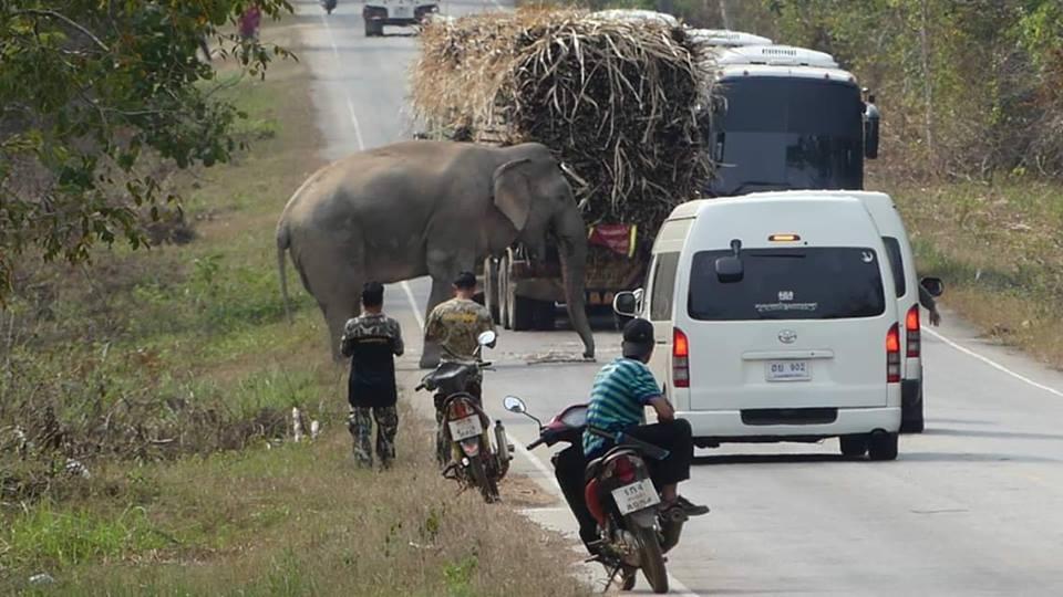 ข่าวสดวันนี้ ช้างปล้นอ้อย ช้างป่า อ้วนด่านลอย