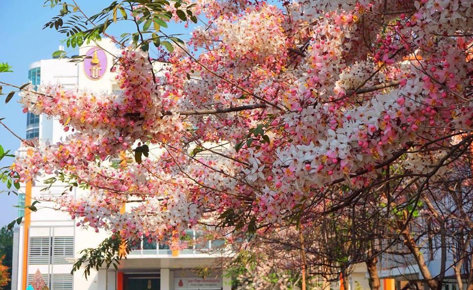ซากุระอีสาน ดอกไม้ หน้าร้อน ต้นกัลปพฤกษ์ ที่เที่ยวขอนแก่น มหาวิทยาลัยขอนแก่น เที่ยวขอนแก่น เที่ยวหน้าร้อน
