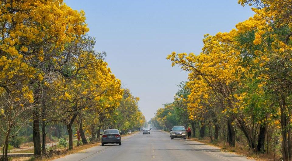 ดอกเหลือง ดอกไม้ หน้าร้อน ตาเบบูญ่า ถนนสวย ถนนสายดอกไม้ ถ่ายรูป ที่เที่ยวสุพรรณ ที่เที่ยวสุพรรณบุรี ที่เที่ยวหน้าร้อน สุพรรณ เที่ยวสุพรรณบุรี เที่ยวหน้าร้อน เหลืองปรีดียาธร