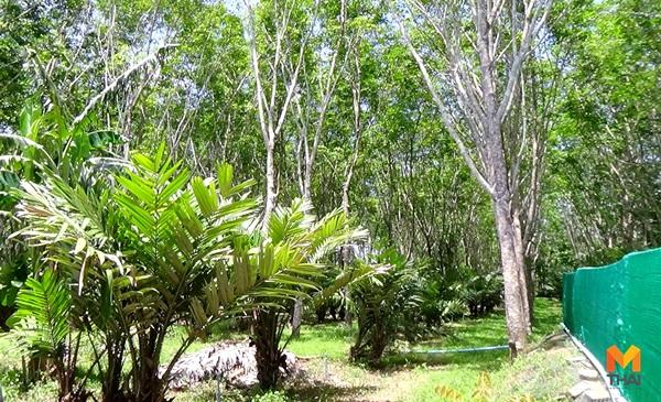 ข่าวจังหวัดตรัง ชาวสวนยาง ยางพารา สร้างรายได้ สละอินโดฯ