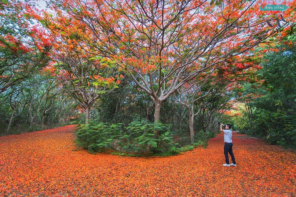 ต้นหางนกยูง ปากช่อง นครราชสีมา อุโมงค์ดอกหางนกยูง อุโมงค์ต้นหางนกยูง เที่ยว ถ่ายรูปสวย เที่ยวนครราชสีมา เที่ยวปากช่อง