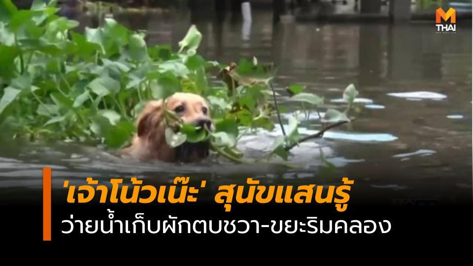 ว่ายน้ำเก็บผักตบชวา สุนัขแสนรู้ เจ้าโน้วเน๊ะ