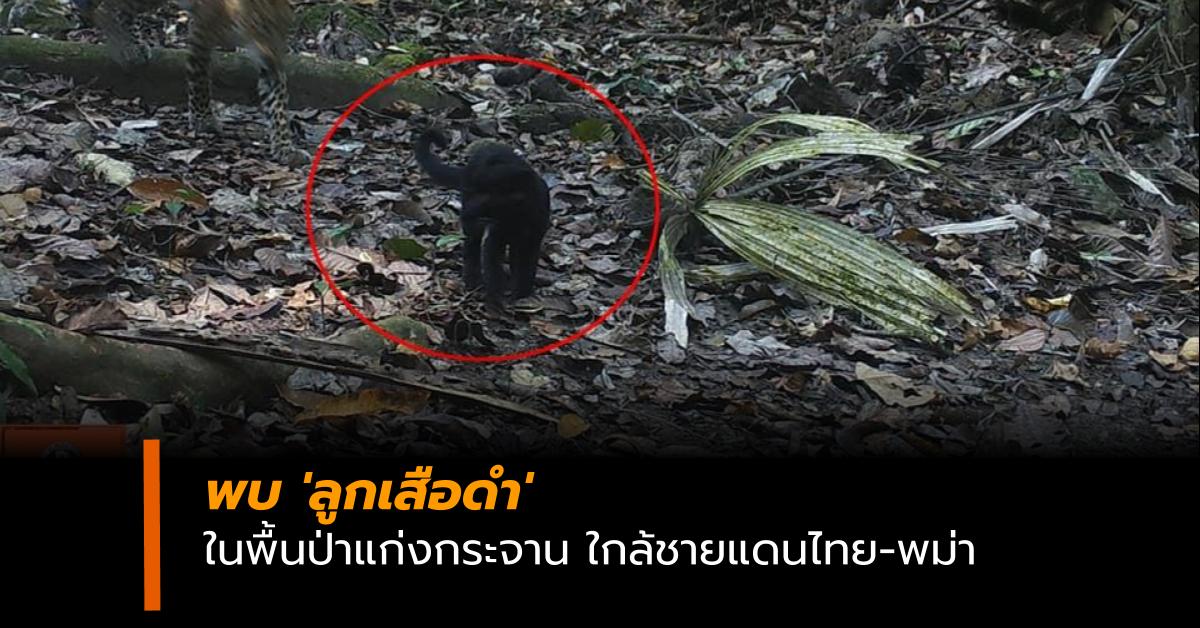 ป่าแก่งกระจาน ลูกเสือดำ