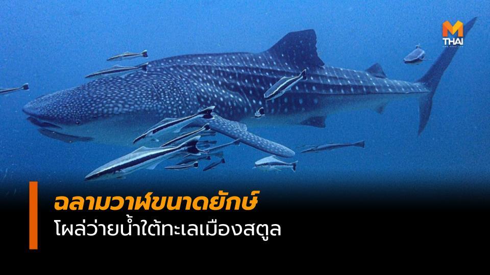 ข่าวจังหวัดสตูล ข่าวสดวันนี้ ฉลามวาฬ