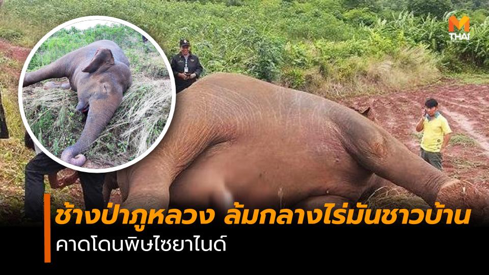 ช้าง ช้างป่า ช้างป่าภูหลวง
