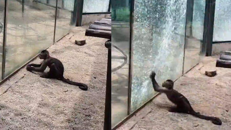 ข่าวจีน ข่าวสดวันนี้ ลิงทุบกระจก