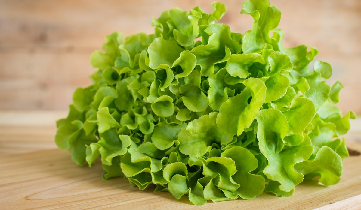 กรีนโอ๊ค กรีนโอ๊ค ชื่อวิทยาศาสตร์ กรีนโอ๊ค ประโยชน์ กรีนโอ๊ค สารอาหาร สลัดผัก