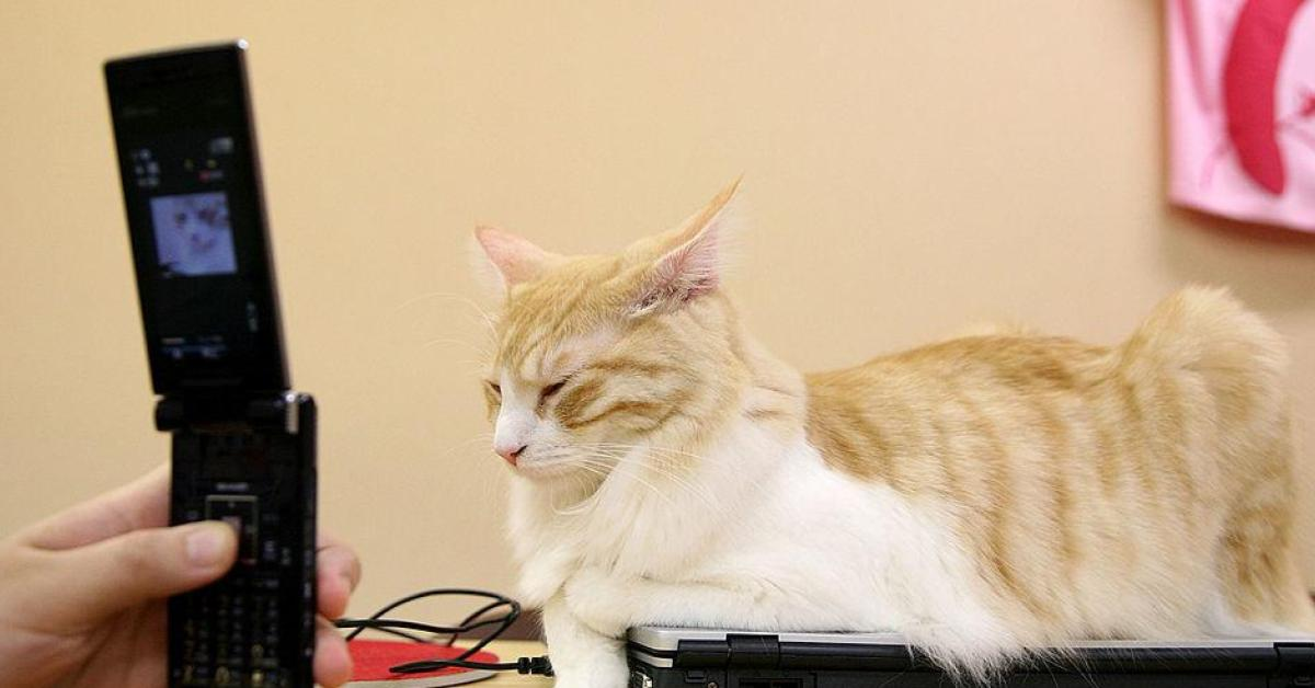 แมว แมวพิมพ์