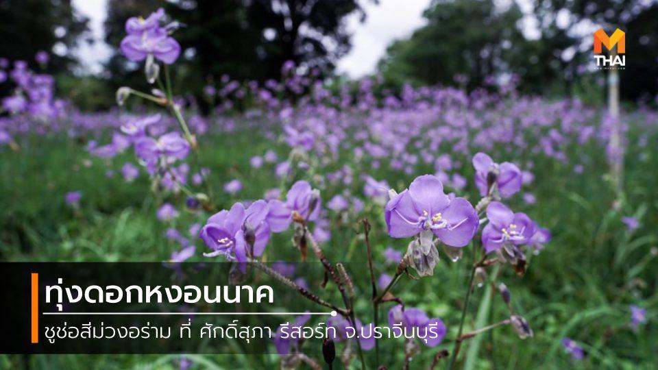 ที่เที่ยวปราจีนบุรี ทุ่งดอกหงอนนาค ศักดิ์สุภา รีสอร์ท เที่ยวปราจีนบุรี