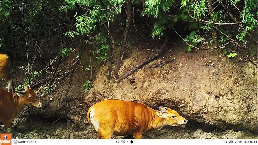 ลูกวัวแดง วัวแดง