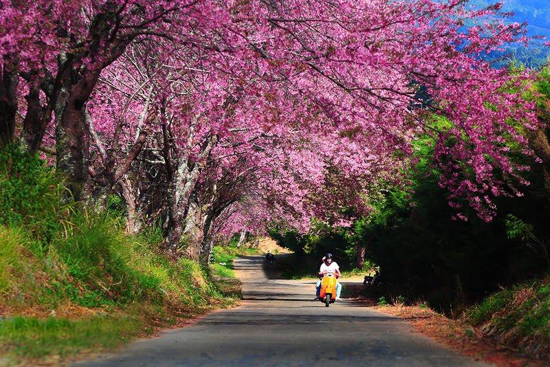 กิ่วแม่ปาน ขุนช่างเคี่ยน ขุนวาง ซากุระเมืองไทย ดอกพญาเสือโคร่ง ดอยขุนแม่ยะ ดอยม่อนจอง ดอยหลวงเชียงดาว ดอยอ่างขาง ที่เที่ยวธรรมชาติ ที่เที่ยวหน้าหนาว นาขั้นบันได อุทยานหลวงราชพฤกษ์ อุทยานแห่งชาติดอยอินทนนท์ อุทยานแห่งชาติห้วยน้ำดัง อุทยานแห่งชาติออบหลวง เที่ยวเชียงใหม่ แม่กำปอง ไร่ชา