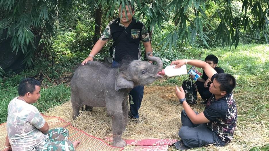 ชบาแก้ว ช้างป่า ช้างหลงโขลง ลูกช้างชบาแก้ว