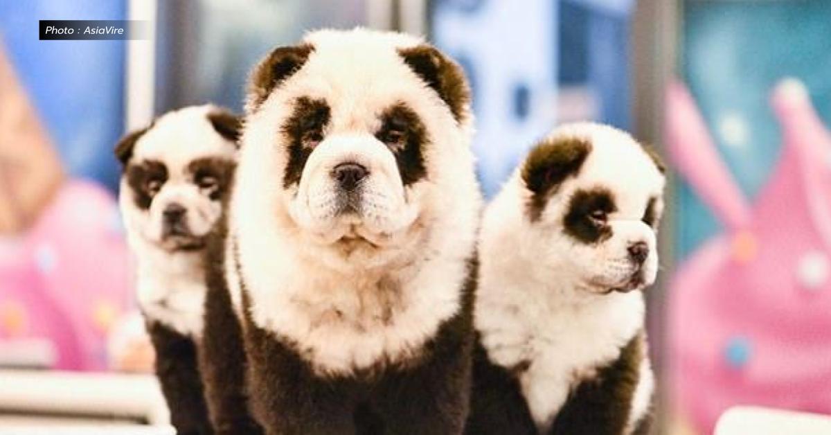 ข่าวสดวันนี้ คาเฟ่ในจีน ย้อมสีหมา หมีแพนด้า
