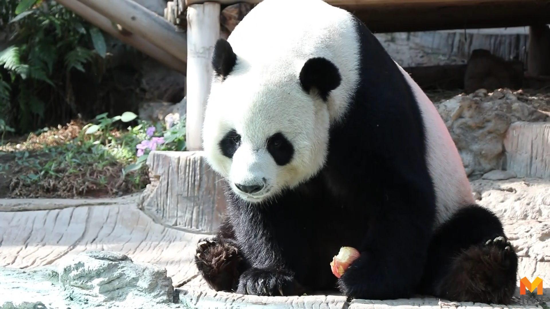สวนสัตว์เชียงใหม่ หมีแพนด้า