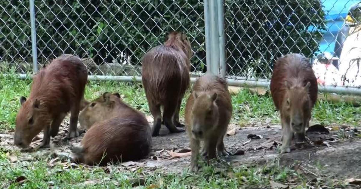 ข่าวสดวันนี้ คาปิบาร่า สวนสัตว์สงขลา
