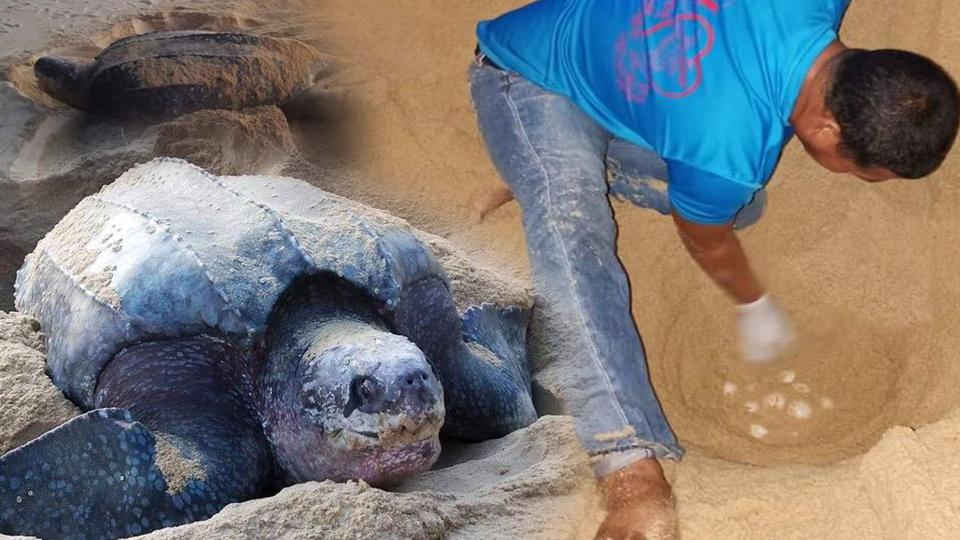 เต่าทะเล เต่ามะเฟือง เต่ามะเฟืองวางไข่