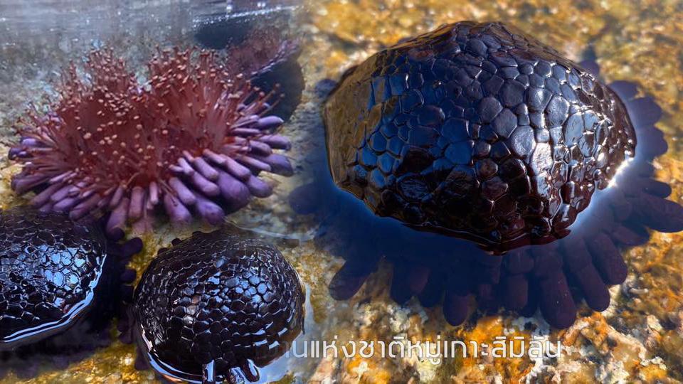 หอยเม่นหมวกกันน็อค เกาะสิมิลัน