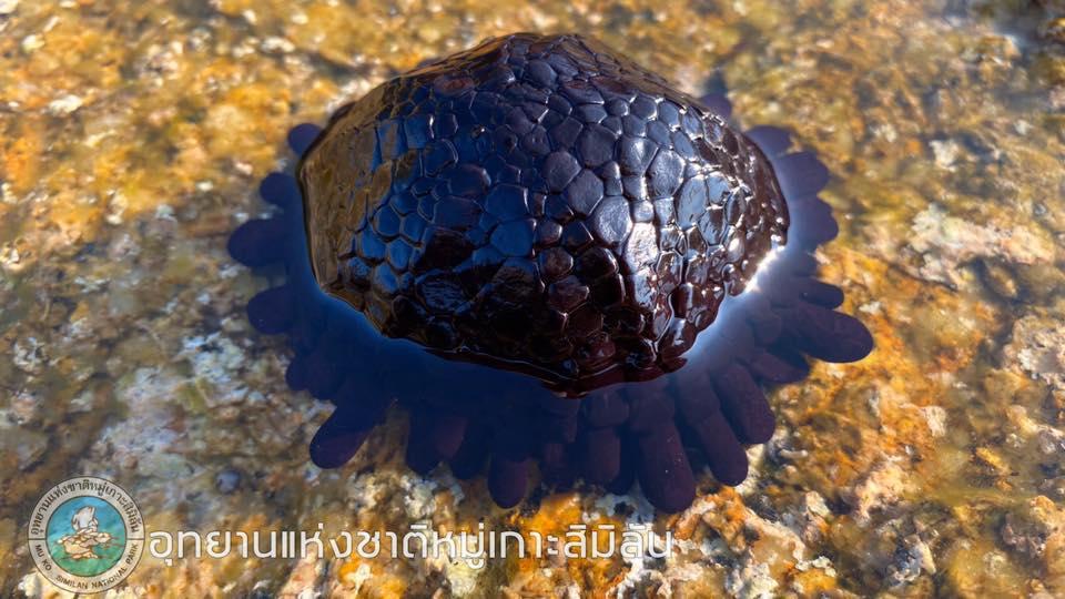 ข่าวสดวันนี้ หมู่เกาะสิมิลัน หอยแม่นหมวกกันน็อค