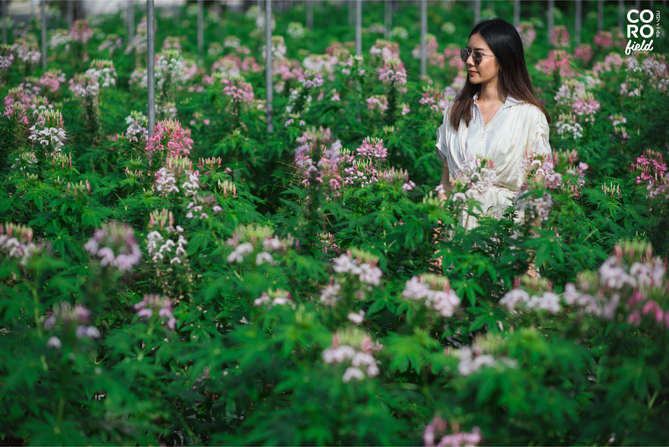 Coro Field ท่องเที่ยวเชิงเกษตร ที่เที่ยวราชบุรี ที่เที่ยวสวนผึ้ง ทุ่งดอกไม้ เที่ยวราชบุรี เที่ยวสวนผึ้ง