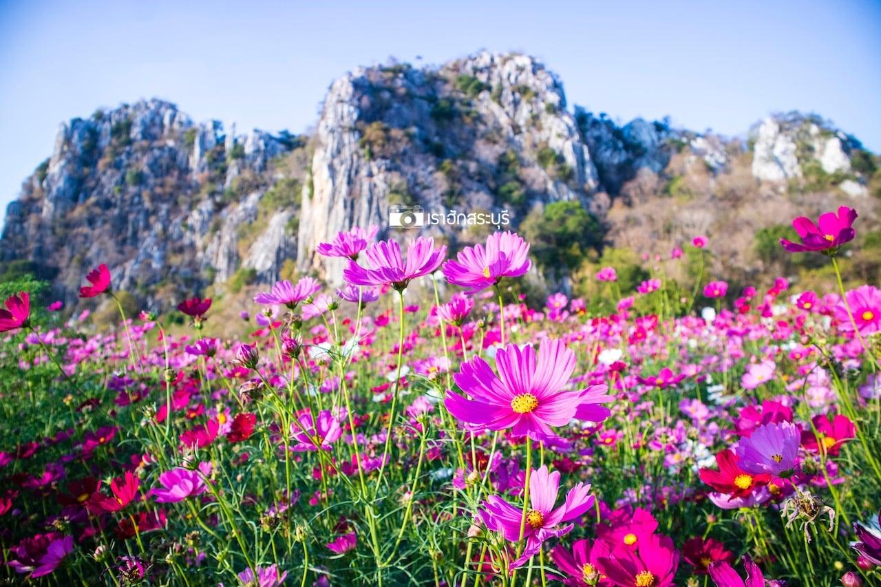 ที่เที่ยวสระบุรี ที่เที่ยวใกล้กรุงเทพ ทุ่งคอสมอส ทุ่งดอกไม้ ทุ่งสิริสมัย สวนดอกคอสมอส ทุ่งสิริสมัย เที่ยวสระบุรี เที่ยวใกล้กรุงเทพ