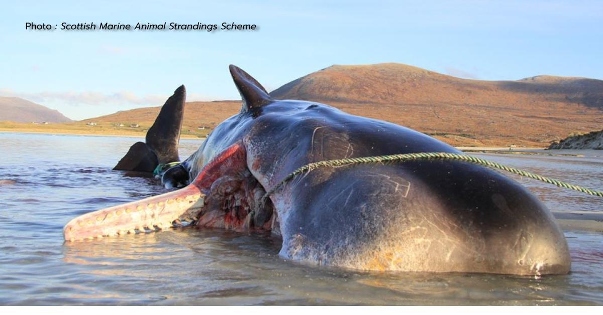 ขยะในท้องวาฬ ข่าวสดวันนี้ วาฬหัวทุย