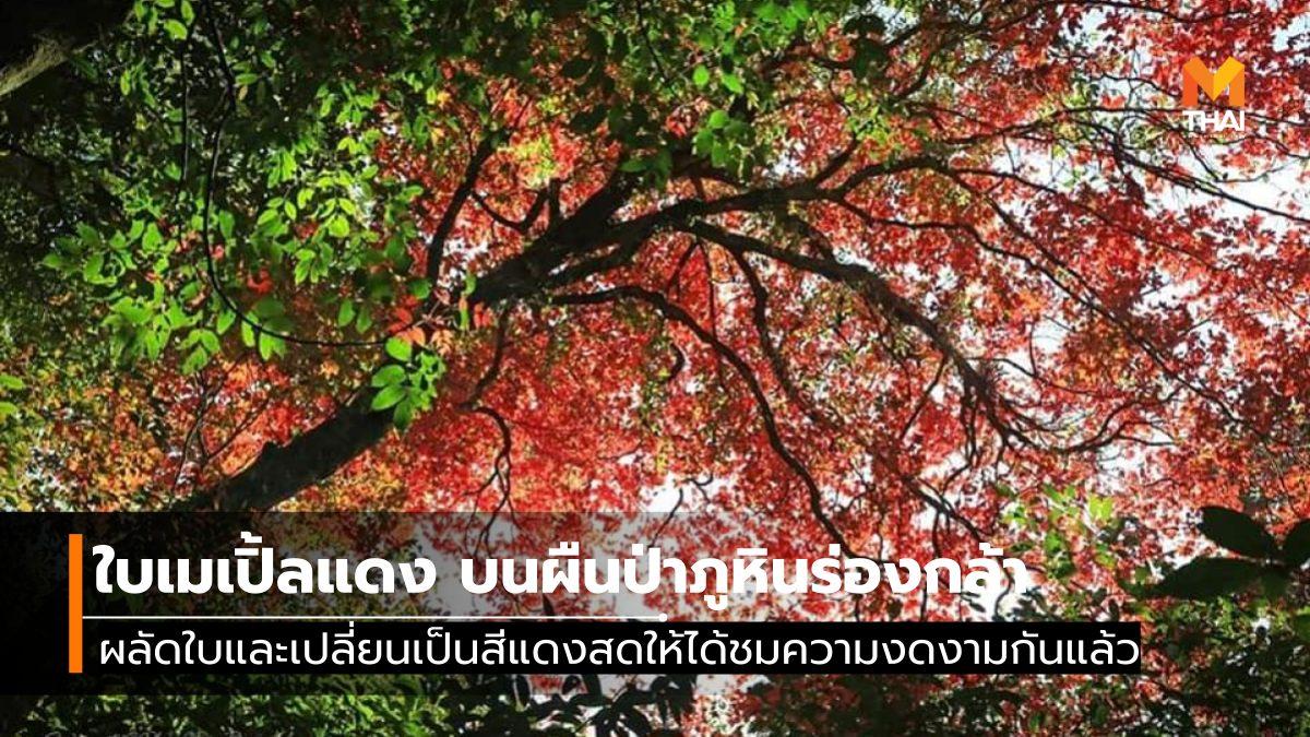 ภูหินร่องกล้า อุทยานแห่งชาติภูหินร่องกล้า ใบเมเปิ้ล ใบไม้เปลี่ยนสี