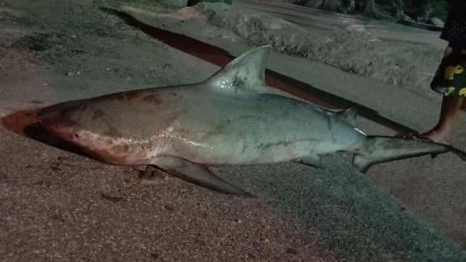 ฉลาม ปลาฉลามหัวบาตร