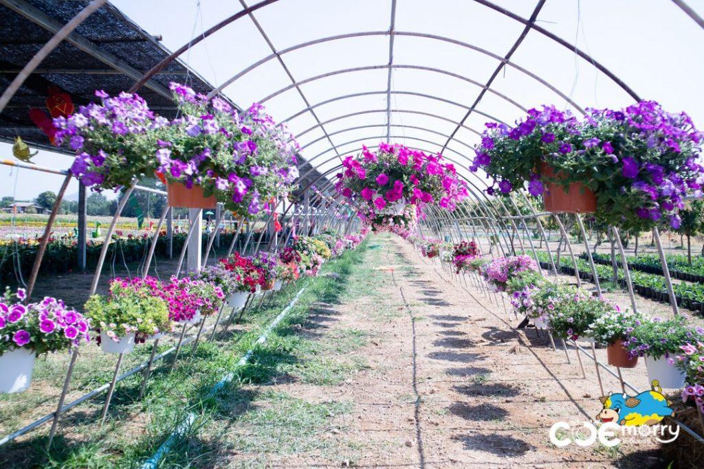 งานต้นกล้าเกษตรแฟร์ ที่เที่ยวสระบุรี ทุ่งคอสมอส ทุ่งดอกไม้ ทุ่งทานตะวัน เที่ยวสระบุรี