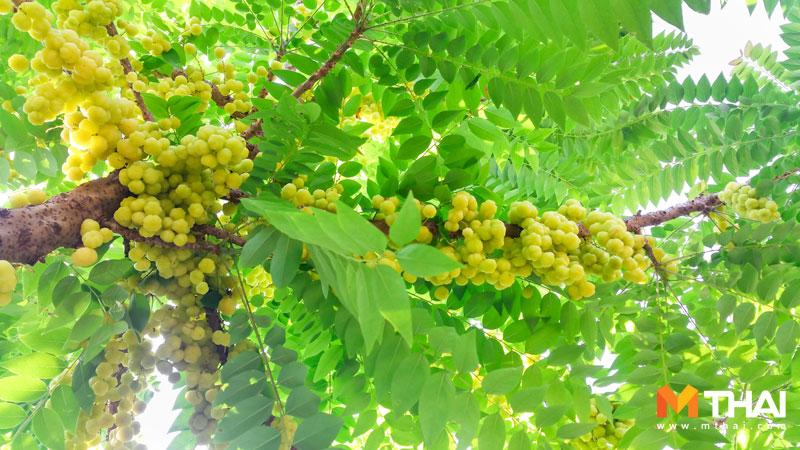 ต้นมะยมลูกดก ปลูกมะยม ปุ๋ยคอก ปุ๋ยหมัก มะยม