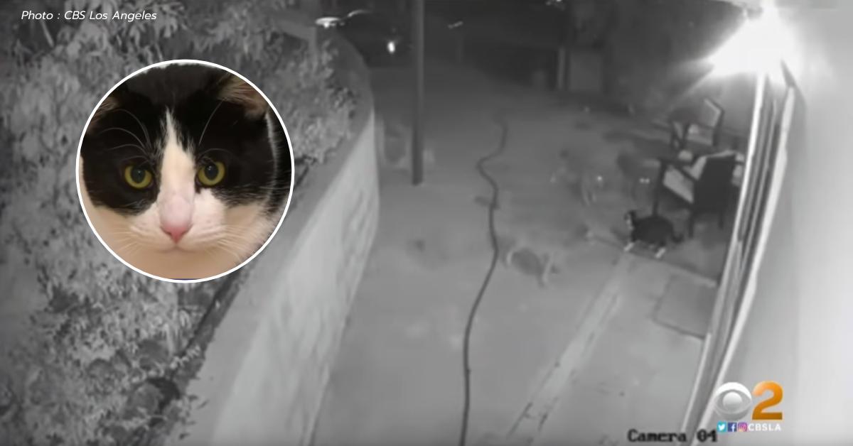 หมาป่าไคโยตี้ แมว