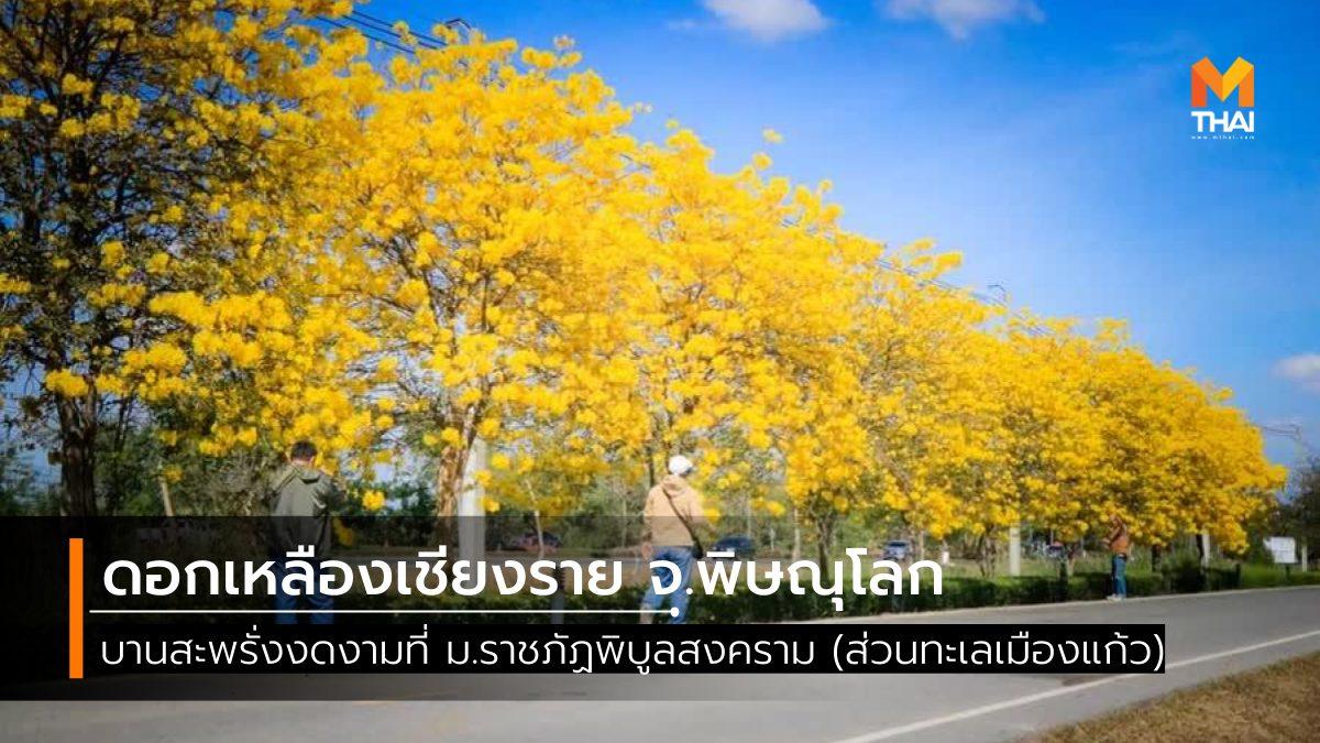 ดอกเหลืองเชียงราย ดอกไม้ หน้าหนาว ที่เที่ยวพิษณุโลก เที่ยวพิษณุโลก