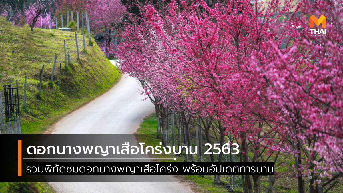 ซากุระเมืองไทย ดอกไม้ หน้าหนาว นางพญาเสือโคร่ง สถานที่ชมดอกไม้ เที่ยวหน้าหนาว