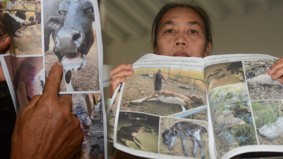 วัว วัวป่วย วัวป่วยโรคเท้าปากเปื่อย