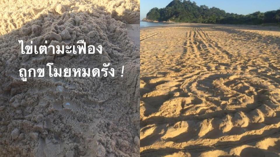 ข่าวสดวันนี้ หาดท้ายเหมือง ไข่เต่ามะเฟือง