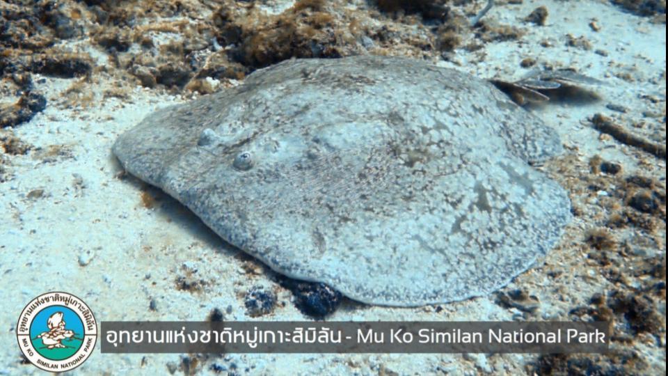 ข่าวสดวันนี้ ปลากระเบนไฟฟ้า หมู่เกาะสิมิลัน