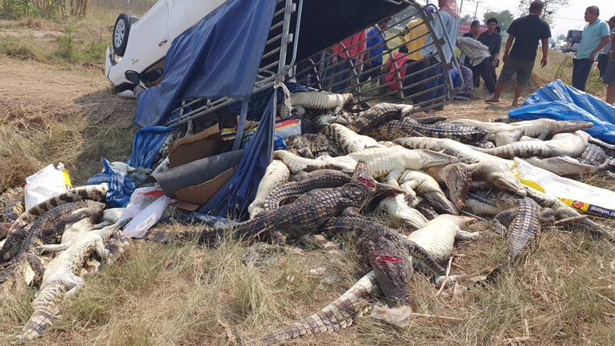 ข่าวจังหวัดกาญจนบุรี ข่าวสดวันนี้ ข่าวอุบัติเหตุ ซากจระเข้