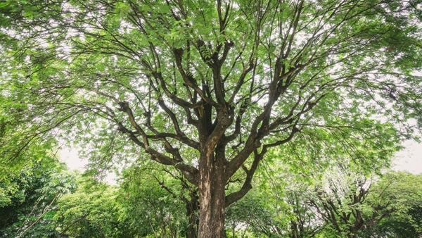 ไม้ยืนต้น ไม้ยืนต้นขอสินเชื่อ