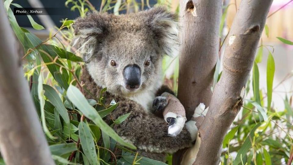 โคอาลา ไฟป่าออสเตรเลีย