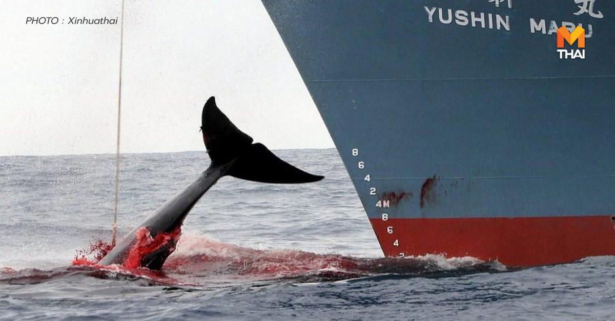 ญี่ปุ่น ล่าวาฬ