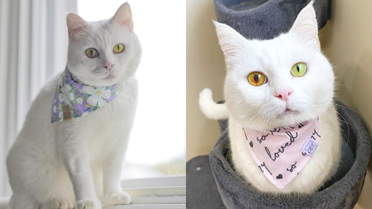 ลูกแมว สัตว์เลี้ยง แมว แมวตาสองสี แมวน่ารัก